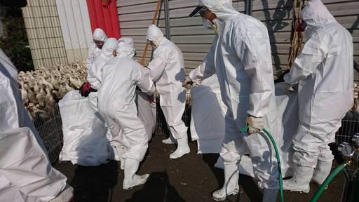 屏東縣於鹽埔鄉再檢出1場肉鴨場禽流感案例2