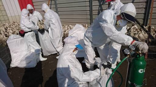 屏東縣於鹽埔鄉再檢出1場肉鴨場禽流感案例1