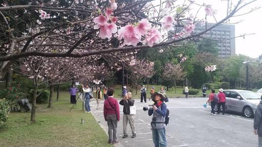 陽明山櫻花季