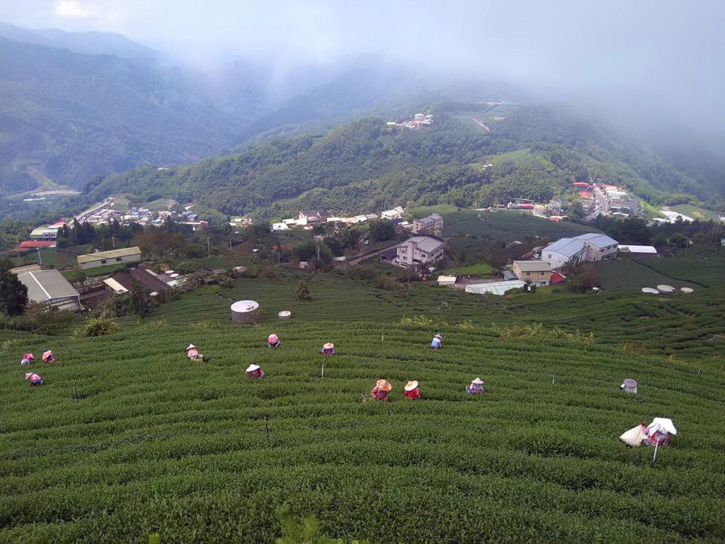 Tea picking on Alishan