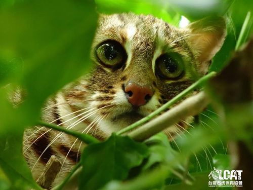 Image taken from Leopard Cat Association of Taiwan