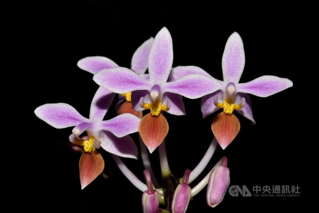 Phalaenopsis equestris. / Photo courtesy of Chen Chun-ming