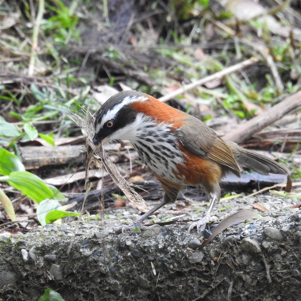 A Taiwan scimitar babbler, which is endemic to Taiwan / Image taken from: facebook.com/ESRICEC