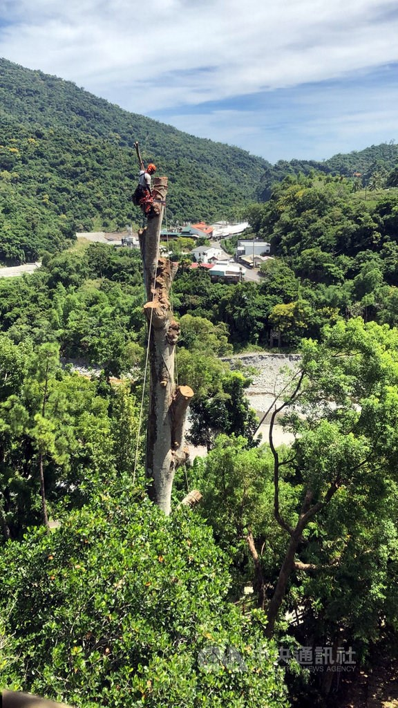A tree surgeon atop the infected tree/ Photo courtesy of the Taitung Forest District Office