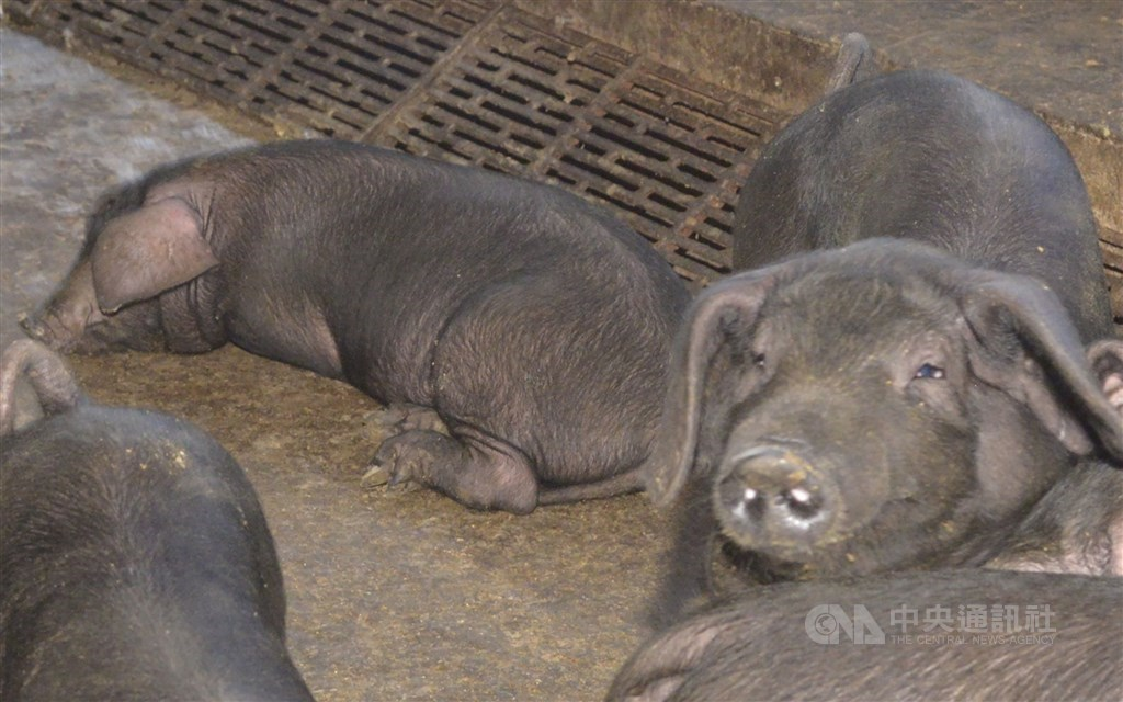 At a pig farm in Yunlin County. CNA file photo