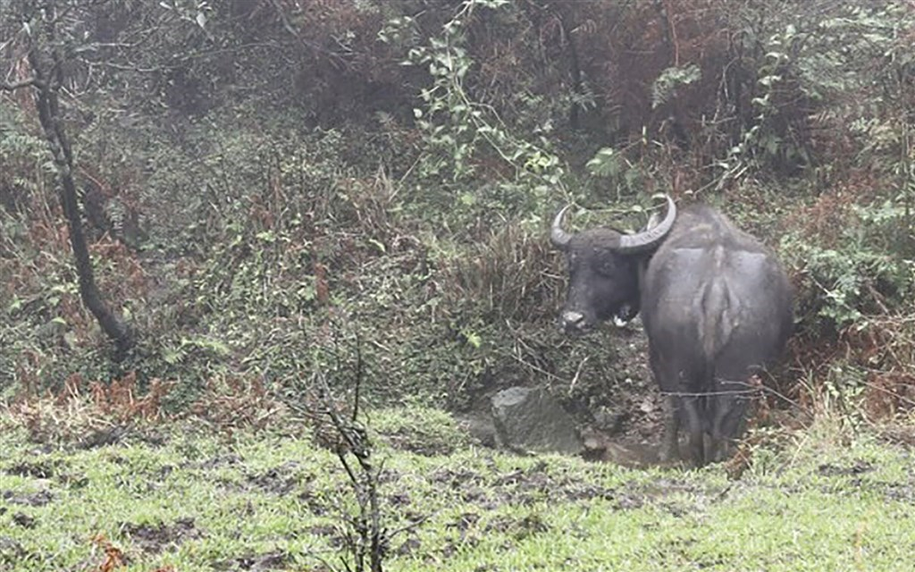 A wild Asian buffalo in Yangmingshan National Park. CNA file photo