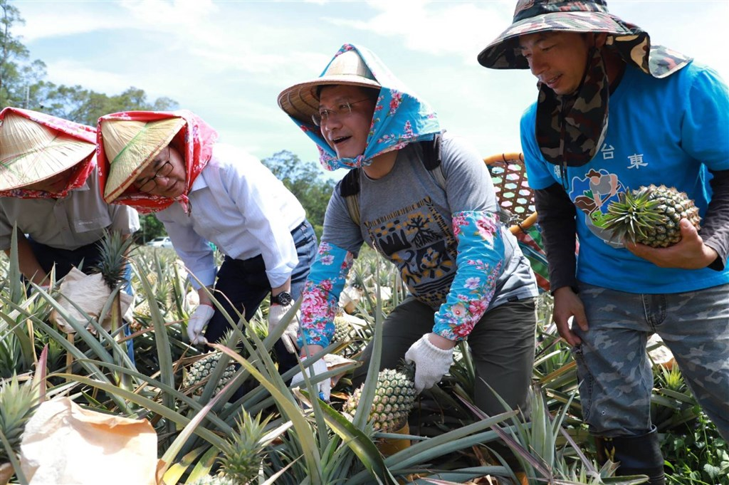 Minister of Transportation and Communications Lin Chia-lung (second right) takes part in harvesting pineapples in a photo he shared on Facebook Friday. Photo courtesy of the Ministry of Transportation and Communications