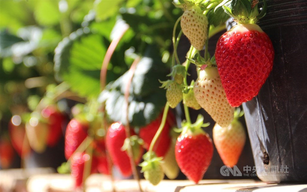 File photo of a new strawberry variety cultivated by an agricultural research and extension station under the Council of Agriculture