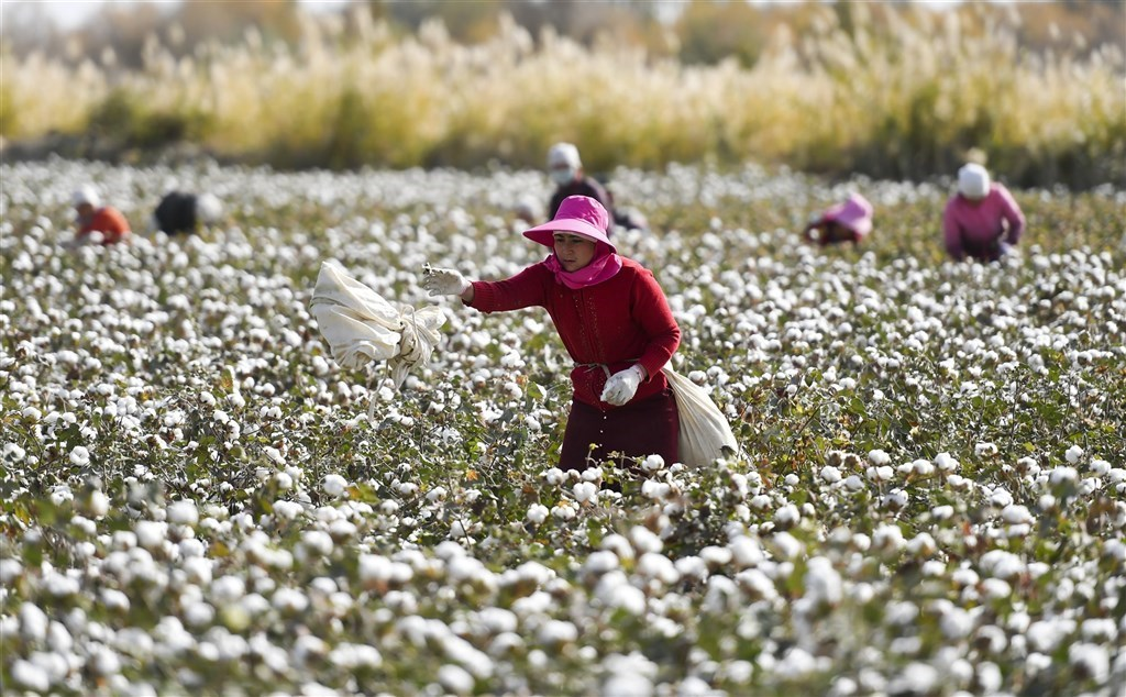 Cotton farm workers in Xinjiang. File photo by China News Service.