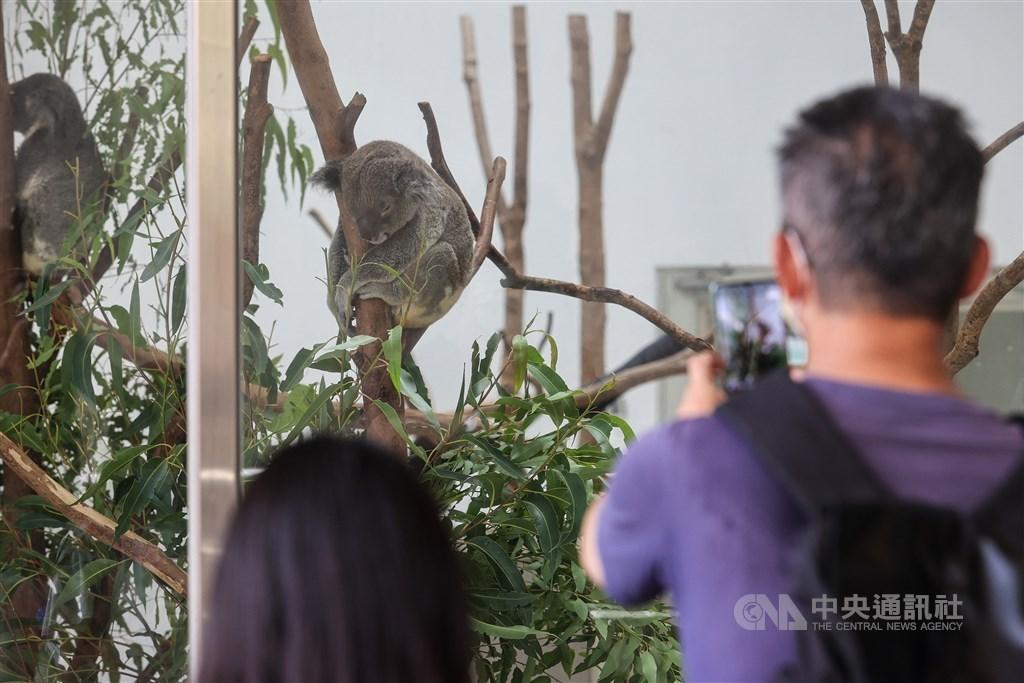 A visitor to Taipei Zoo takes photo of Koala bears on Sunday. CNA photo Aug. 1, 2021