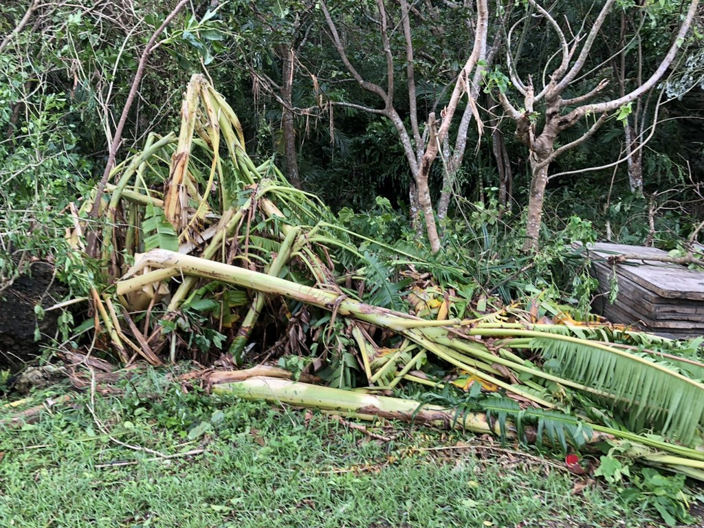 Damaged banana plants are seen on Orchid Island, where gusts of over 200 kph were recorded Saturday night. Photo courtesy of Lanyu Township Office