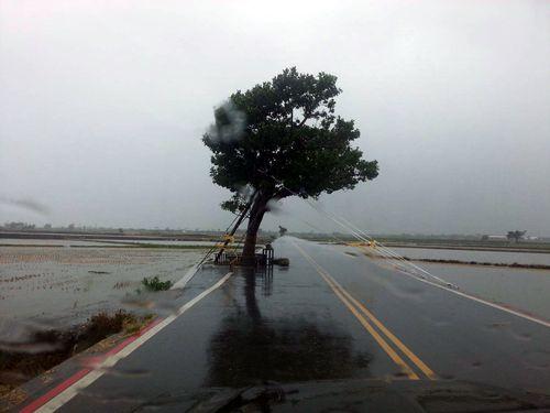 台東にある「金城武樹」