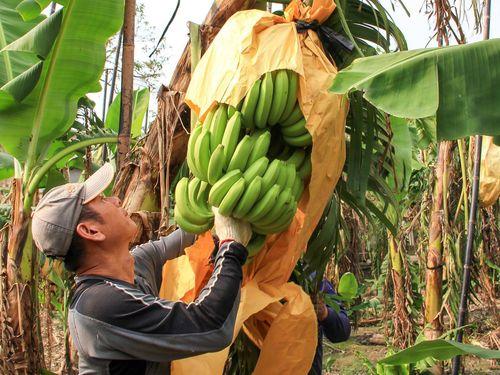 台湾のバナナ農家