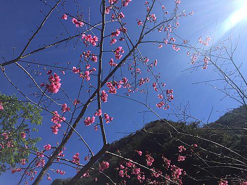 霧台郷の桜の花=同郷公所提供