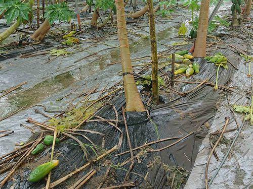 各作物で最も被害が大きかったパパイヤ=高雄市農業局提供