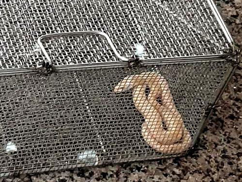 中華航空機の貨物室で捕獲されたヘビ=読者提供