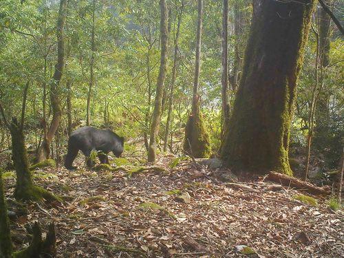 玉山国家公園内のタイワンツキノワグマ=玉管処提供