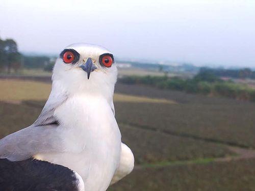 カタグロトビ=屏東科技大鳥類生態研究室のフェイスブックから