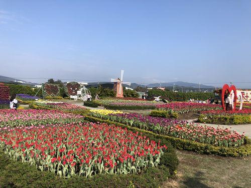 咲き誇っている中社観光花市のチューリップ