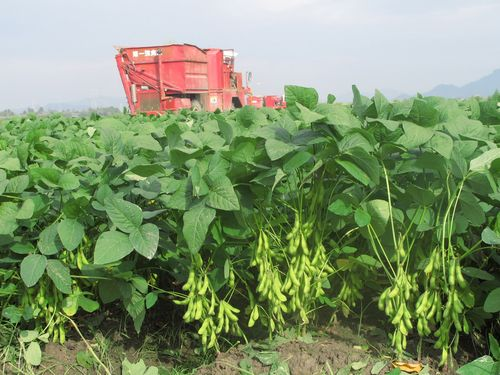 台湾産枝豆=高雄区農業改良場提供