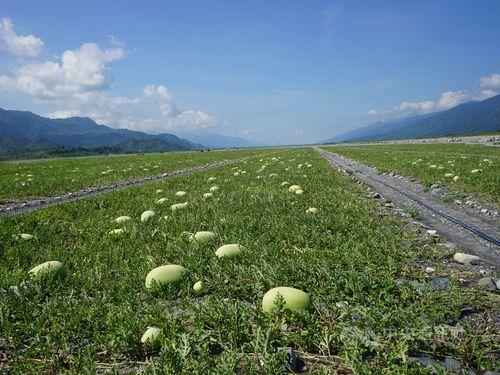 東部・花蓮県内のスイカ畑