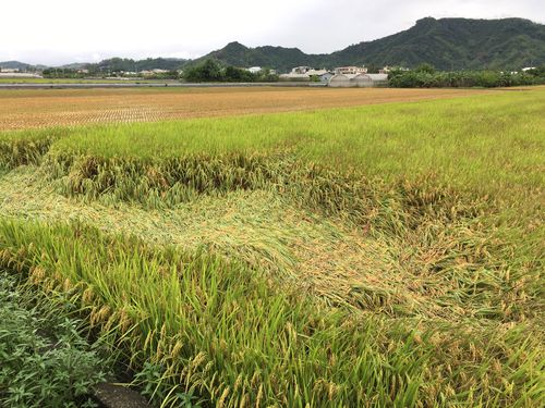 雨の被害を受けた稲=高雄市(同市農業局提供)