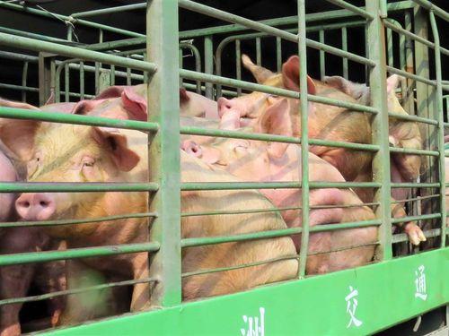 台湾、口蹄疫のワクチン非接種清浄地域に