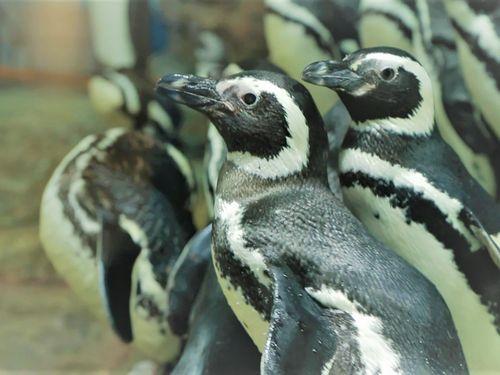 マゼランペンギン=Xpark提供