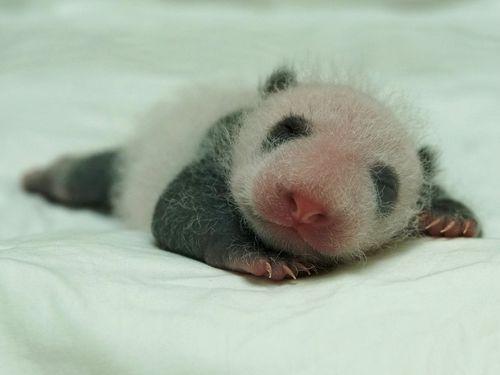 先月下旬に生まれたばかりの赤ちゃんパンダ、寝ることが仕事!=台北市立動物園提供