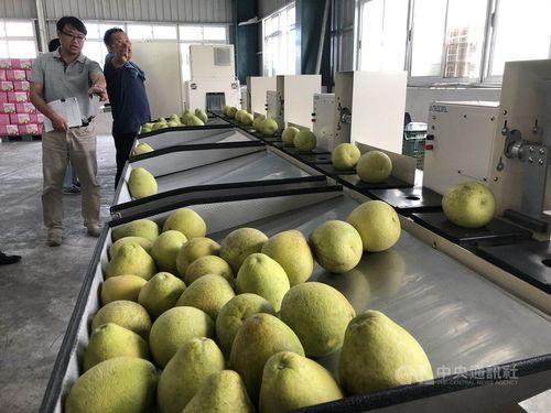 花蓮産ブンタンは新たに導入した日本の糖度測定機器で測定した結果、糖度と酸度の比率が黄金比に達した=花蓮県政府提供