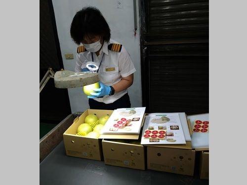 台湾産ブンタン、コロナ下でも健闘 1万キロ余りが日本へ=写真は動植物防疫検疫局提供