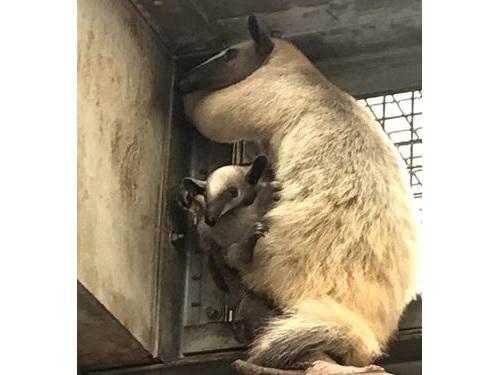 ミナミコアリクイの「小紅」と今年5月に生まれたばかりの赤ちゃん=台北市立動物園提供