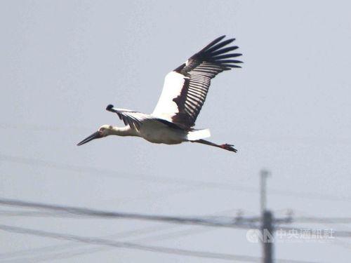 台湾に飛来したコウノトリ=高雄市養護工程処提供