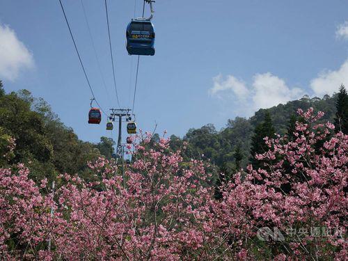 日月潭周辺の桜=日月潭国家風景区管理処提供