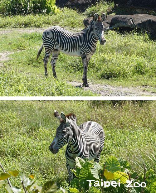 台北市立動物園が京都市動物園から迎え入れるグレビーシマウマ(写真=台北市立動物園提供)