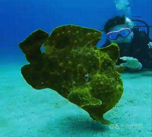 緑島周辺の海域に姿を見せたカエルアンコウ科の魚=蝦巻さん提供