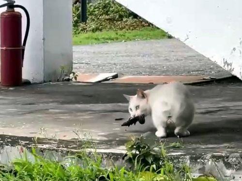ツバメを捕まえた「学校猫」の円円=顔子矞さん提供