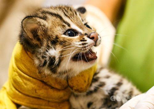 次男の「猫攬」=台北市立動物園提供