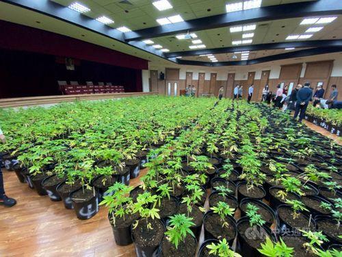 押収された大麻の一部=調査局提供