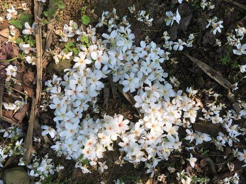 北部・新北市でアブラギリが続々と開花=同市政府客家事務局提供