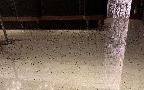 レストランの床にまかれたゴキブリ