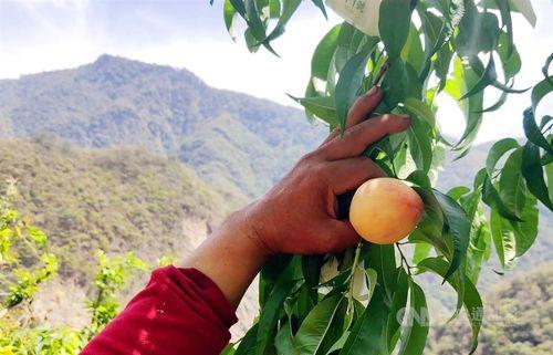 収穫最盛期を迎えようとする台東県産の水蜜桃