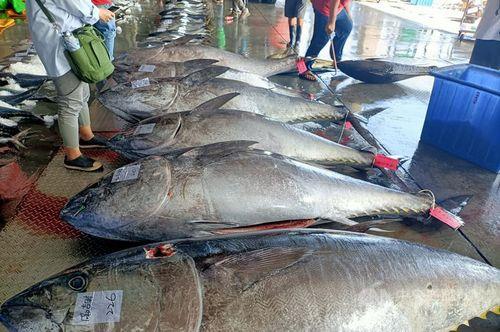 台東県の新港漁港に水揚げされたクロマグロ=読者提供