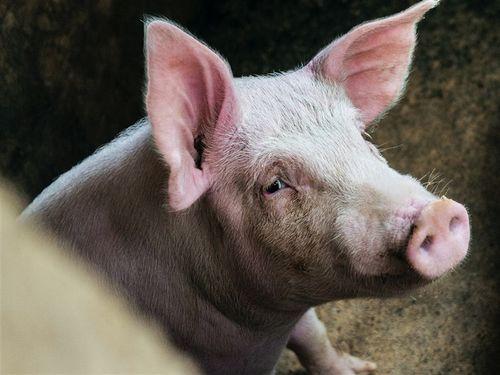 新型豚インフル人への感染例、台湾で初確認=イメージはUnsplashから