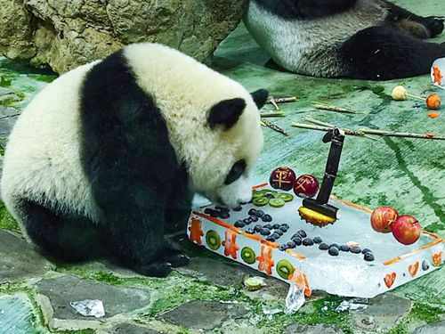 1歳の誕生日を迎えたジャイアントパンダ「円宝」=台北市立動物園提供