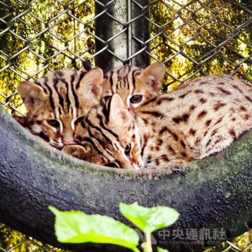 動物園で生まれたタイワンヤマネコ、野生に戻る訓練へ=台北市立動物園提供