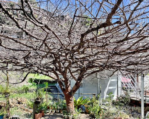 枯れ枝だけになっている「桜花王」=屏東県政府提供