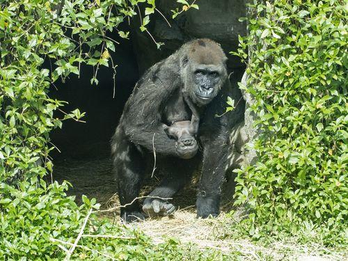"""""""Jabali""""と呼んでね 動物園で生まれたニシゴリラの赤ちゃん"""