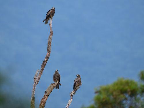 台湾のトビ、過去最多の840羽観測 野鳥愛好家ら大喜び