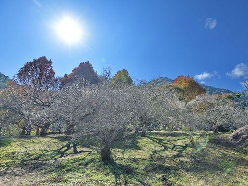 冬空の下、凛々しく咲く梅の花=中部・南投県